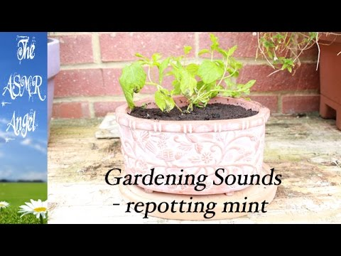 ASMR Gardening - A sounds video of potting up plants (no talking)