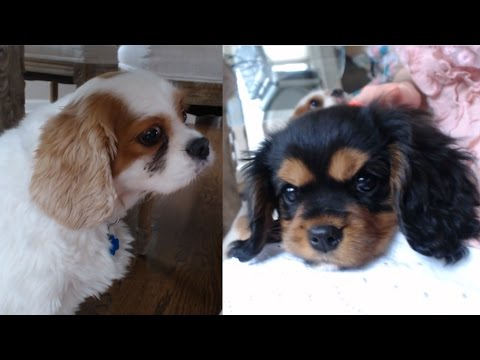 CAVALIER KING CHARLES SPANIEL MEETS PUPPY! (with my friend Elle)